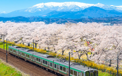 Japan landscape scenic view of JR Tohoku train with full bloom of sakura and cherry blossom