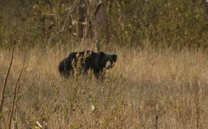 Enchanting Travels Tiger Safaris in India - Bear