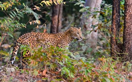 Leopard (Panthera pardus) is alert, Tadoba, Chandrapur, Maharashtra, India