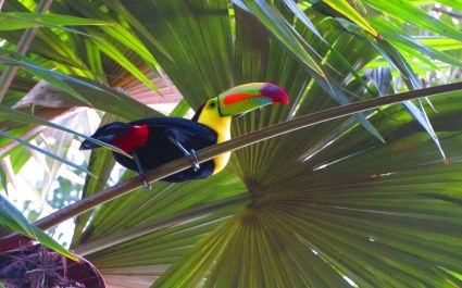 Sight colorful toucans in Tikal.