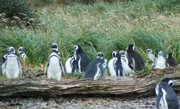 southern-patagonia-chilean-tierra-del-fuego-cape-hornaustralis-cruise-fauna-penguings-by-ingrid-vultorius-1-e1430986593641