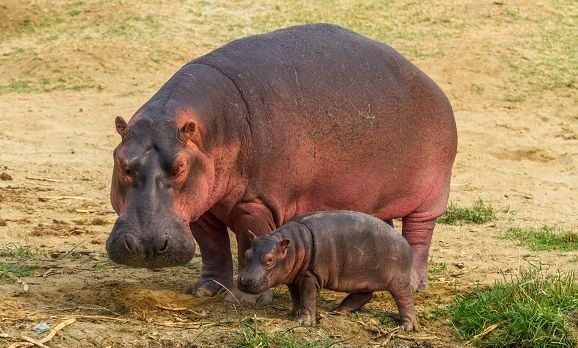 A mother-and-baby-hippo-near-the-kazinga-channel-uganda-