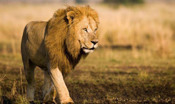 Hunting for prey at The Mara