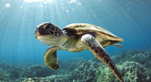 Tortoise under water, Maldives