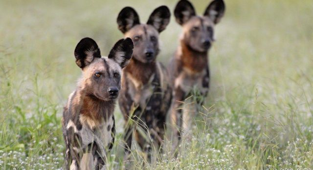 Highlights of Zambia - wild dogs