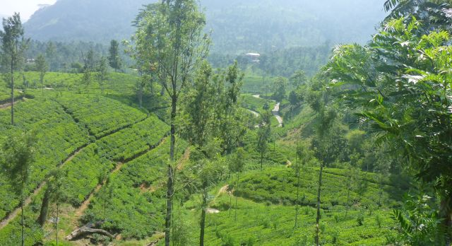 Sri Lanka Reisebericht - Plantagen