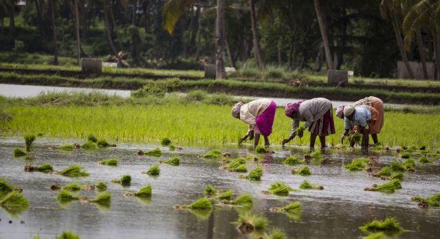 Rice paddies of South India