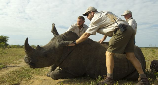 A rhino received aid from experienced caretakers and conservationists.