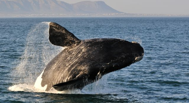 Enchanting Travels South Africa Tours Whale watching at Hermanus