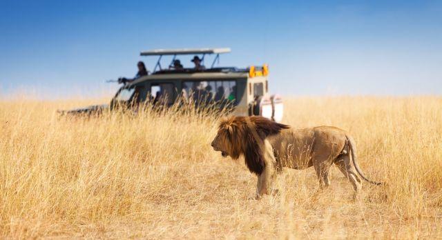Lion in front of safari car