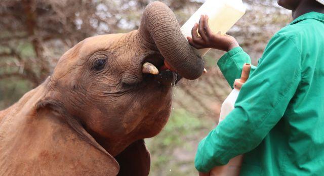 Baby-Elefant trinkt Milch aus einer Flasche im David Sheldrick Elefantenwaisenhaus in Kenia