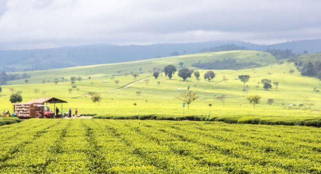 Enchanting Travels Kenya Tours Nandi Hills - plantations and vineyards