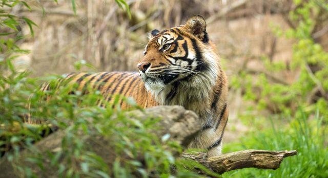 Sumatran tiger hiding in the jungle