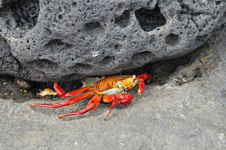 Großer roter Krebs versteckt sich unter einem Stein