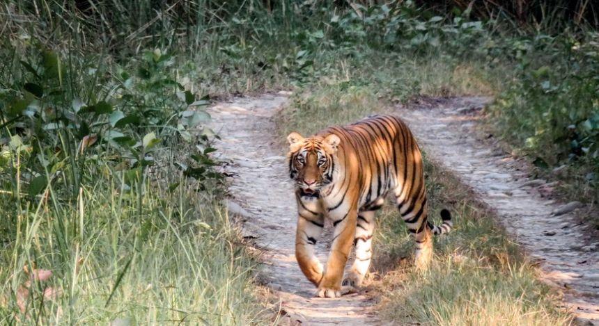 Ein bengalischer Königstiger im Chitwan-Nationalpark in Nepal