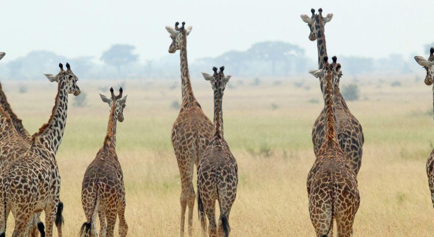Kleine Giraffen-Herde in der Savanne