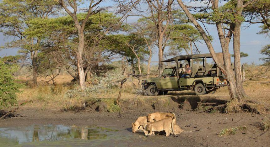 Kleine Gruppe Löwen trinken an einer Wasserstelle