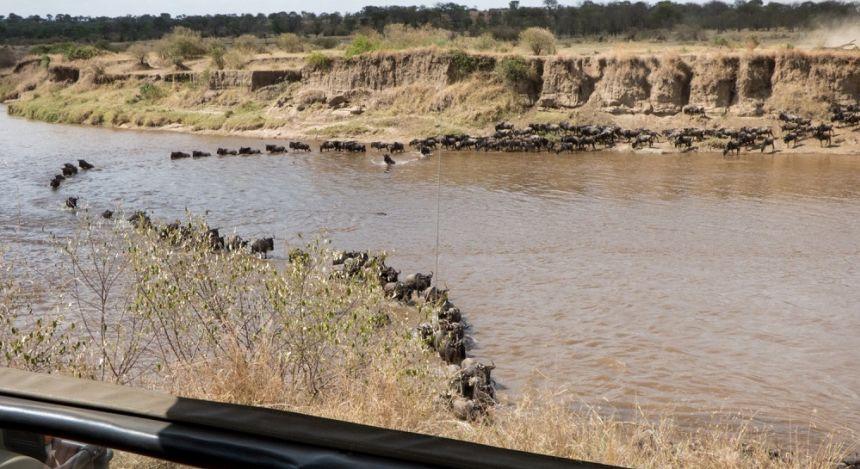 Gnu-Herde passiert einen Fluss