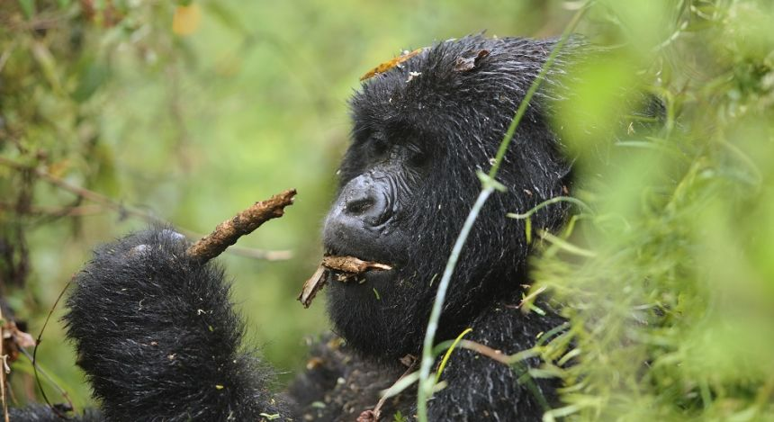 Enchanting Travels African safari parks to see - Mountain gorilla female
