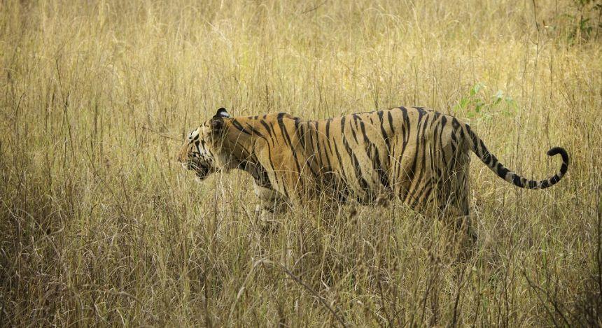Tiger streift durchs hohe Gras