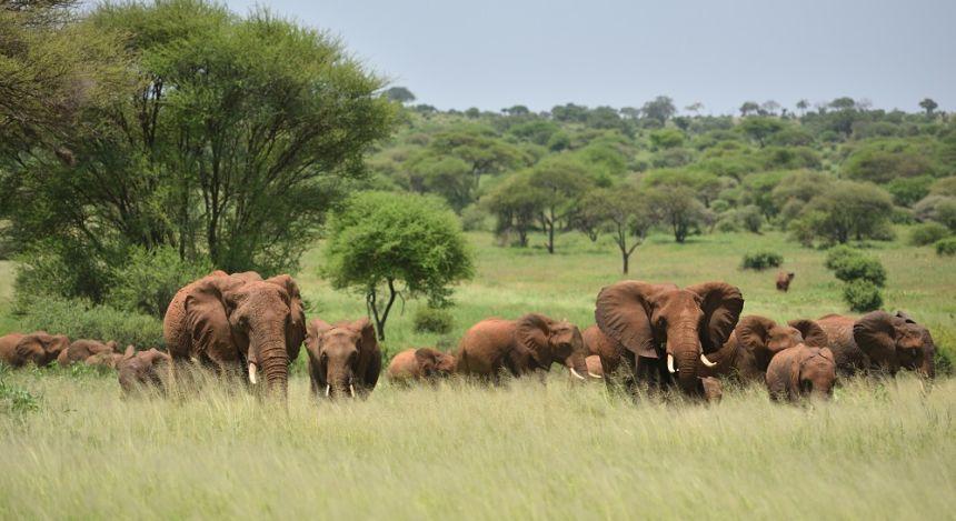Elefantenherde vor Wäldern in der Ferne
