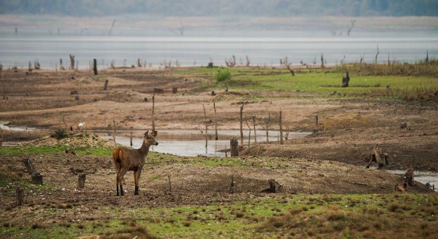 sambar deer at her habitat land of tadoba