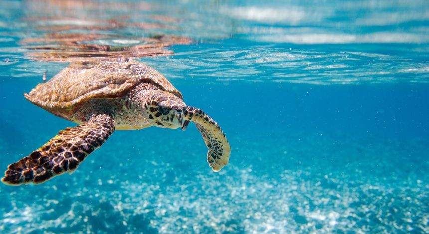 Hawksbill sea turtle underwater in Seychelles