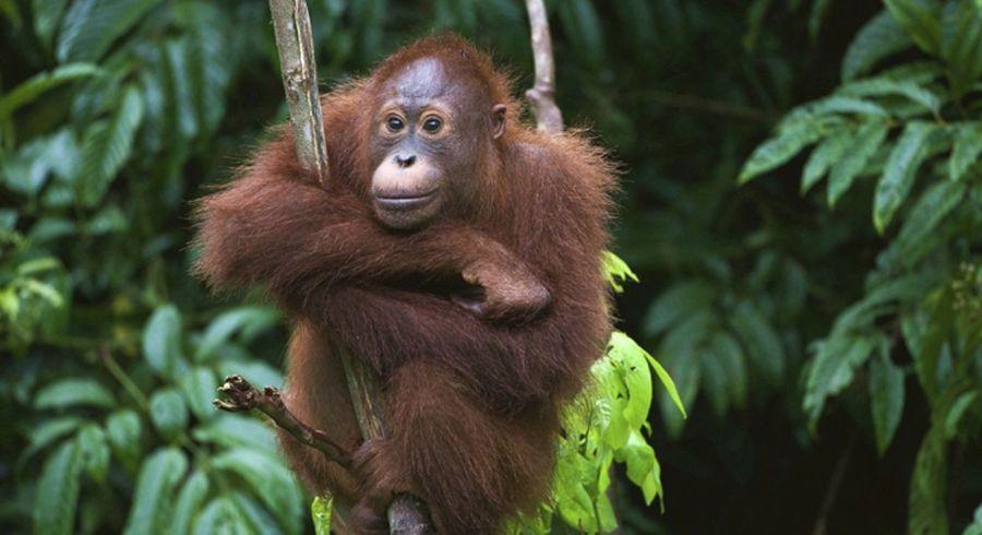 Orang Utan auf Borneo in Indonesien