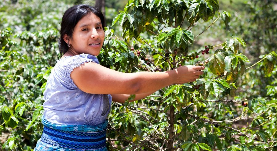 Indigenous Latin American woman is harvesting ripe coffee berries on organic coffee farm. Food and drink coffee background.