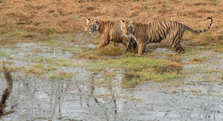 Photo Courtesy - Timothy Brooks; Tigers7