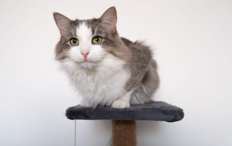 gray and whit cat on top of cat scratching post with carpet