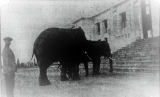 Unusual visitors to Parliament House in 1931. Source: The Daily Telegraph