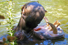 Zoo Admission and Hippo Encounter - Adult