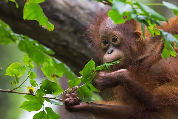 Nutrition in Wild Orangutans: Insights Into Human Health