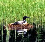 Loons nest
