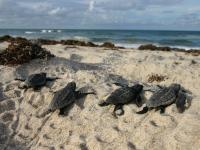 Sea Turtle Hatchlings on a Space Coast Beach