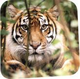 Big Summer Fun Tiger