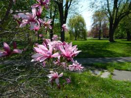 Sonnenberg Gardens - Magnolia With Arboretum Finger Lakes NY