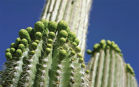 Saguaro Cacti & Critters