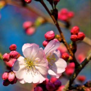 Copy of cherry trees