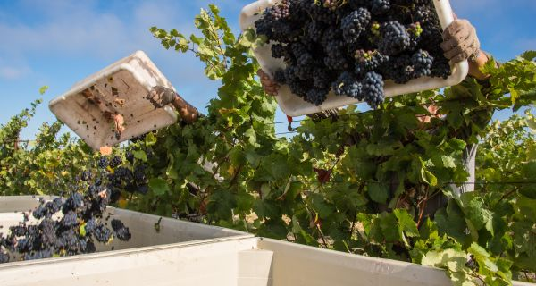 Napa Valley Harvest | Celebrate the Grape
