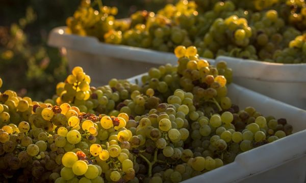 White Wine Grapes in Napa Valley
