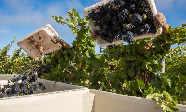 Red Wine Grapes Being Harvested