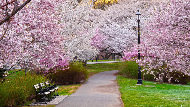 Cherry Blossoms in Newark