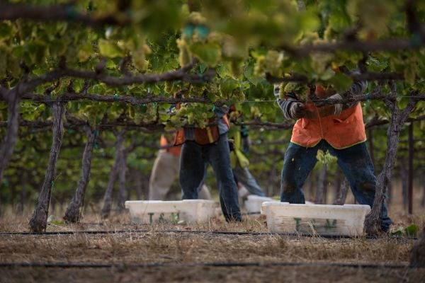 Napa Valley Harvest Workers