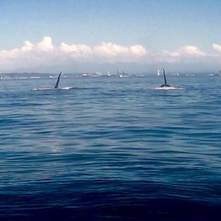 Orcas on a Monday morning