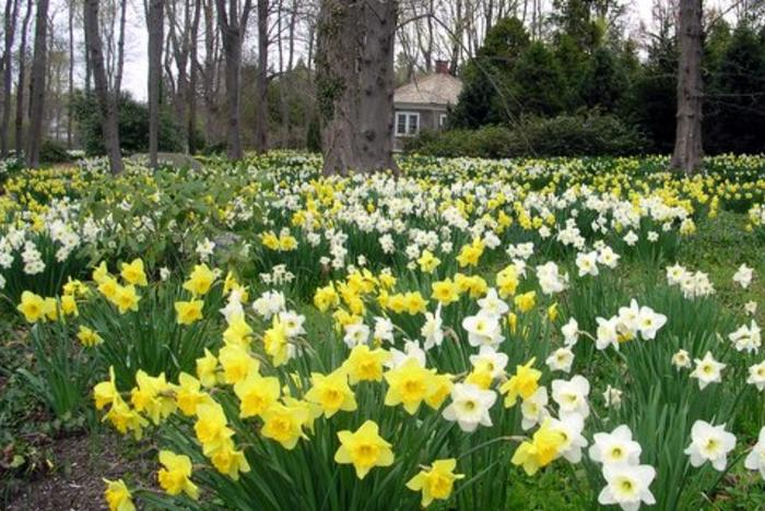 Daffodil Days at Blithewold