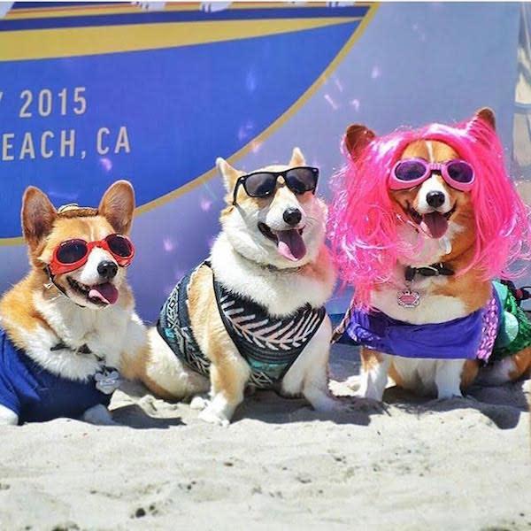 Corgi Beach Day 2015 photo by @michelaloves