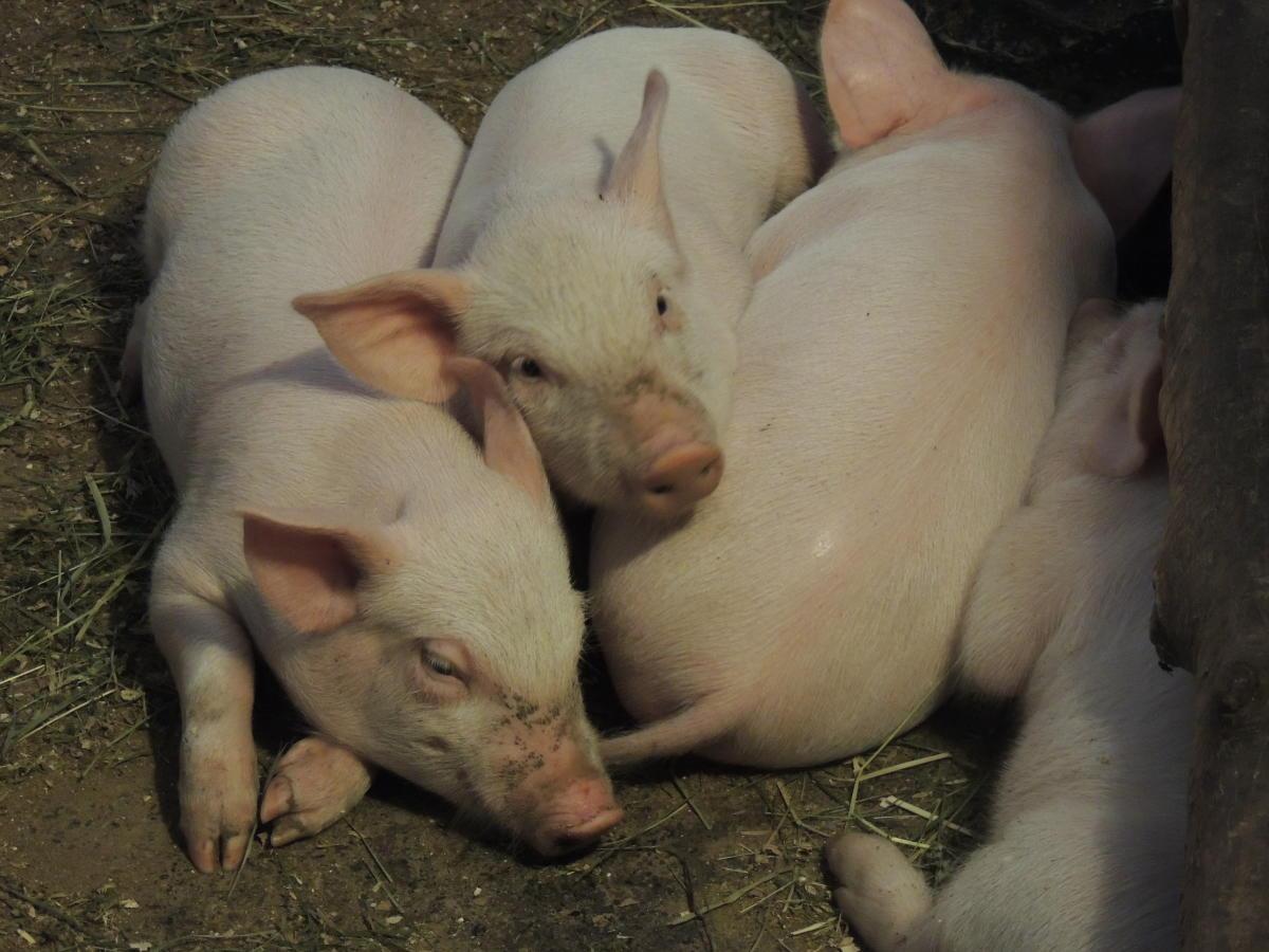 Piglets at Quiet Valley