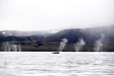 The fin whales